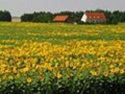Campo di girasole, autore Charlotte Nordahl, Dresden