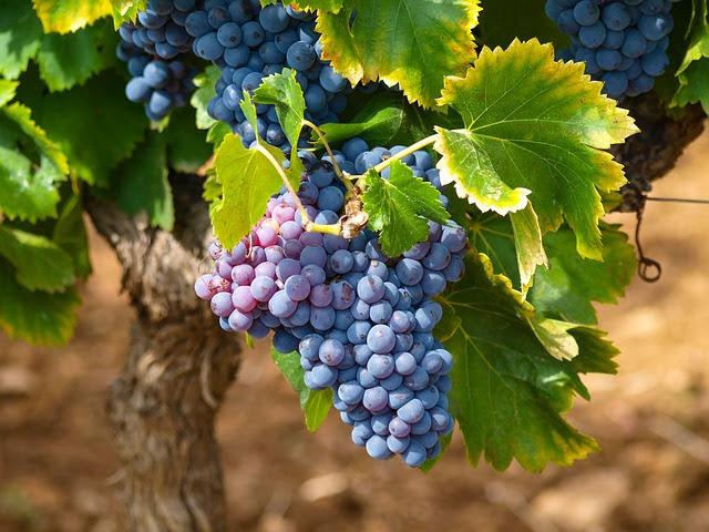 OCM Vino - Photo credit: Foto di Marc Benedetti da Pixabay